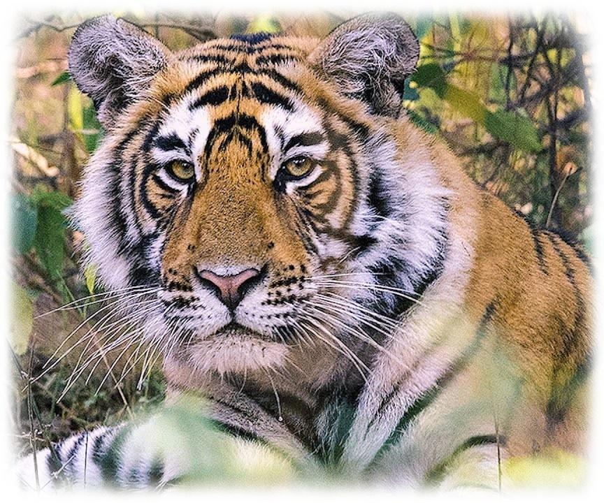 TPOTG Tiger Frame 01